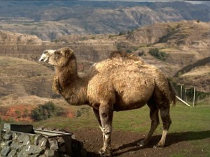 Camel Rides Coming to the Badlands