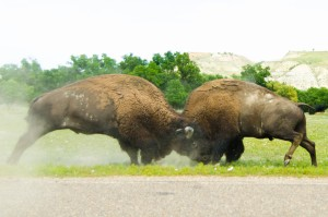 TRNP Bison Bull duel in TR National Park South Unit - John Weber - TRMF