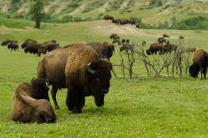 TRNP Bison in TR National Park South Uni - John Weber - TRMF